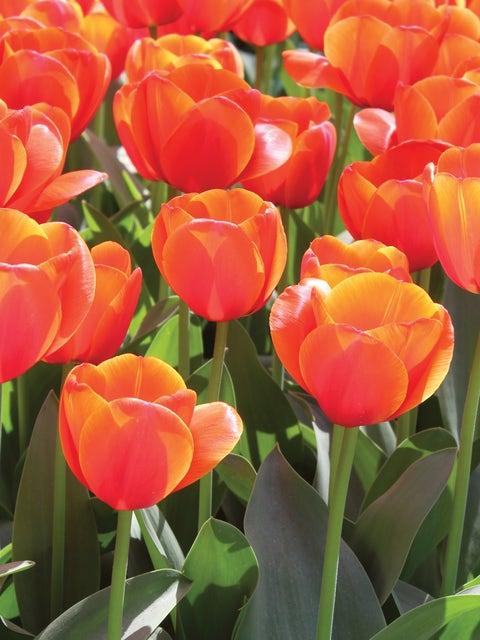 Tulip, Ad Rem