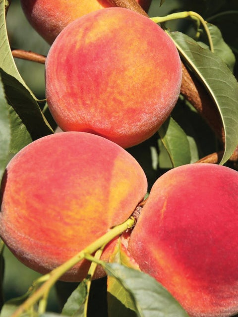 Peach Tree, Sweet N Up