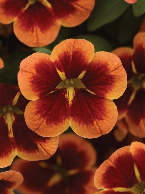 Calibrachoa, Bumble Bee Orange