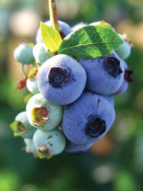 Blueberry, Chandler