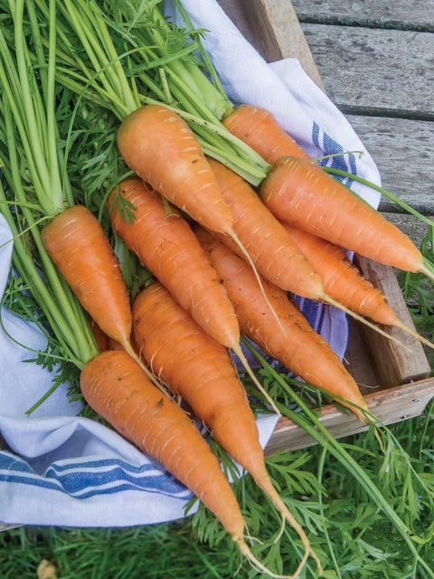 Carrot, Red Cored Chantenay