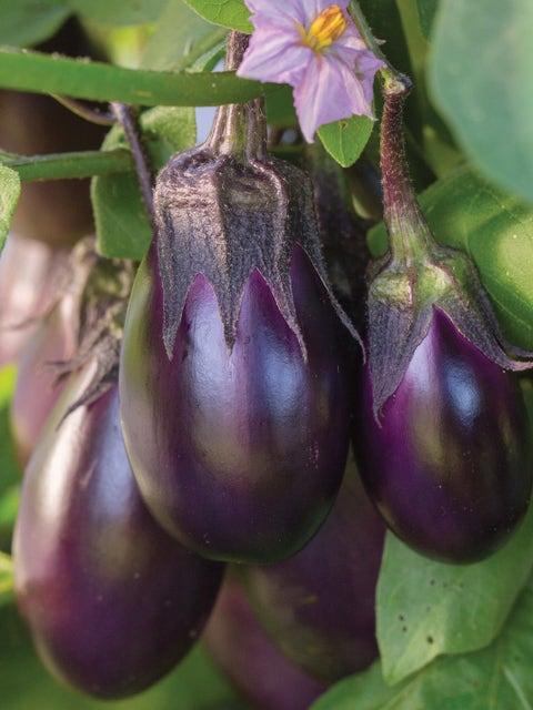 Eggplant, Patio Baby Hybrid