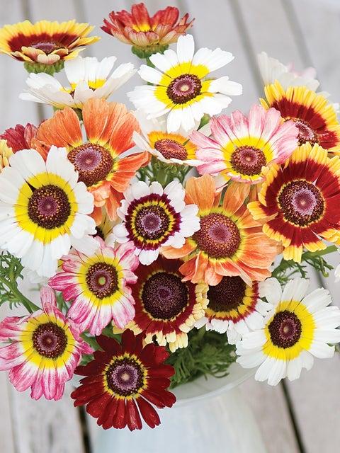 Chrysanthemum, Tricolor Daisy