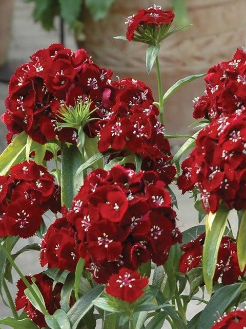 Dianthus, Sweet Black Cherry Hybrid