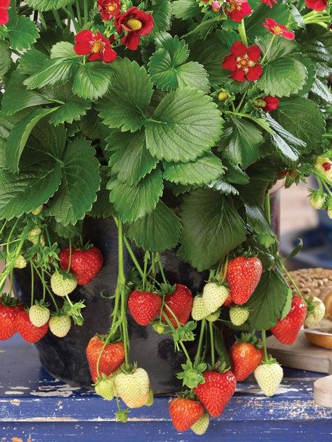Strawberry, Ruby Ann