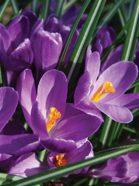 Crocus vernus, Flower Record