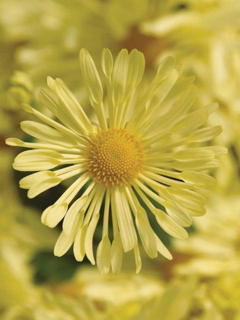 Garden Mum, Mammoth Daisy Quill Yellow