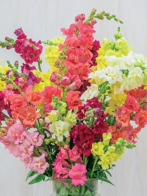 Snapdragon, Madame Butterfly Mix Hybrid