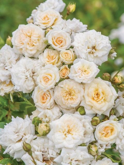 Rose, White Drift