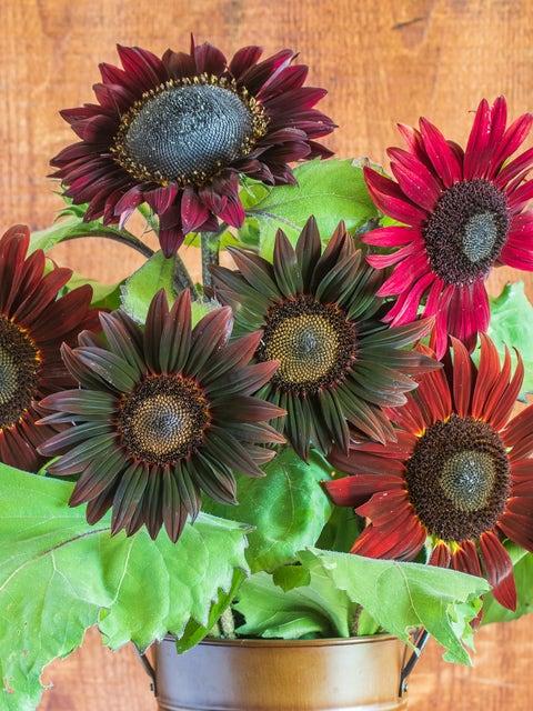 Sunflower, Chocolate Cherry