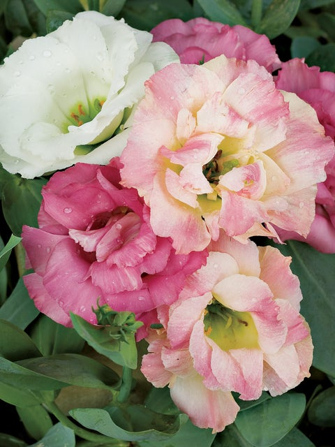 Lisianthus Pink Bouquet Collection