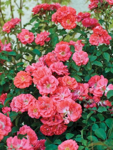 Rose, Coral Drift