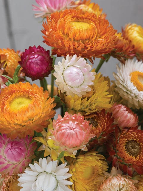 Strawflower, Tall Mixed Colors