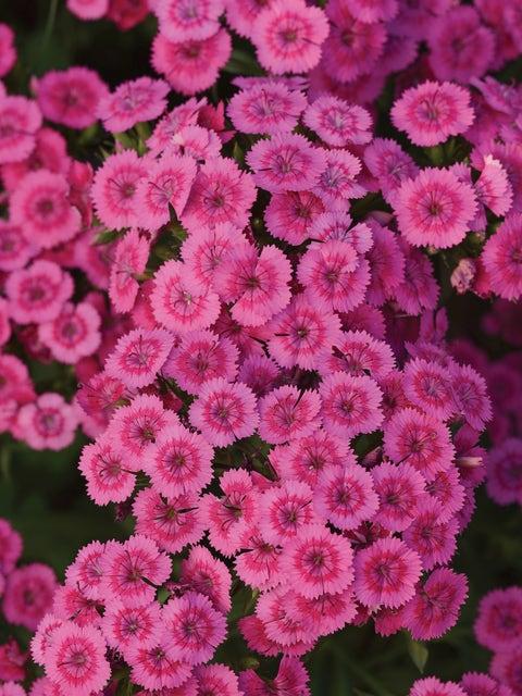 Dianthus, Jolt Pink