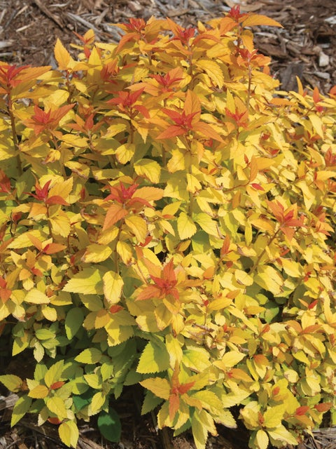 Spirea, Double Play Candy Corn