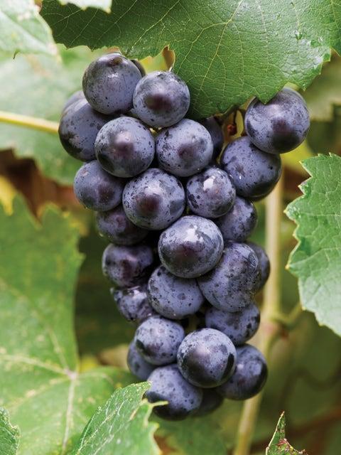 Grape, Mars Seedless