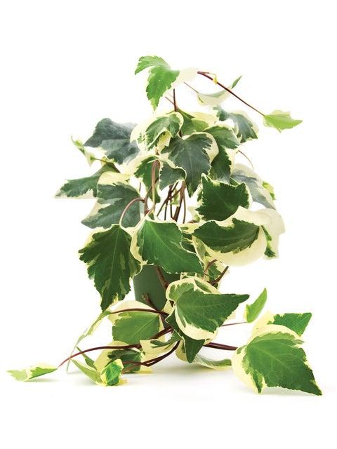 Hedera (Ivy) algeriensis, Gloire de Marengo