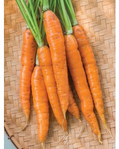Carrot, Touchon