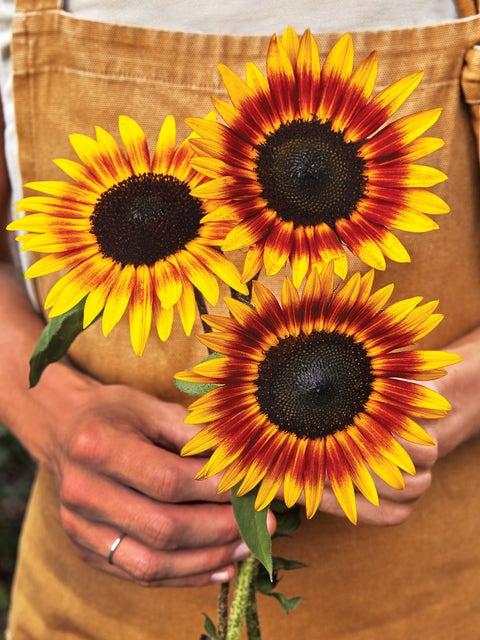 Sunflower, Tiger Eye Hybrid