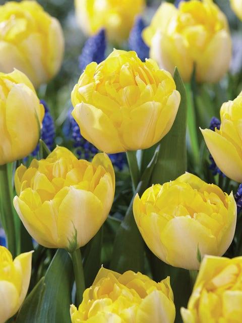 Tulip, Secret Perfume