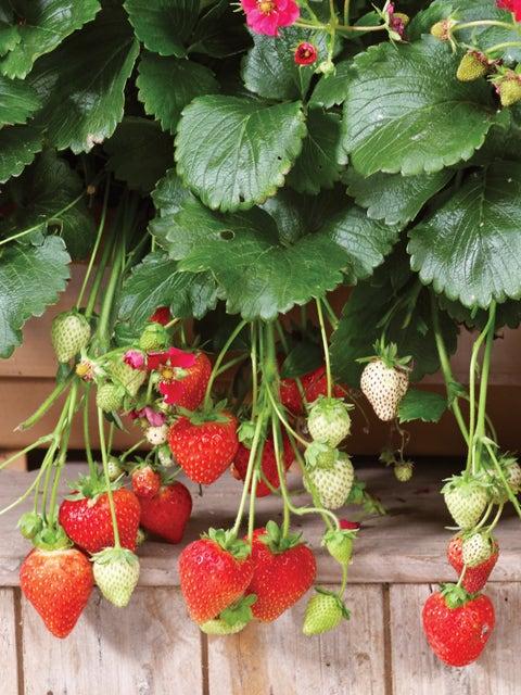 Strawberry, Summer Breeze Deep Rose