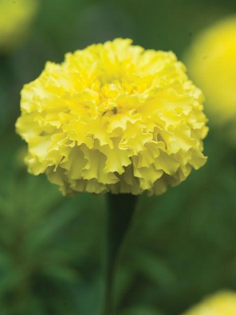 Marigold, Key Lime