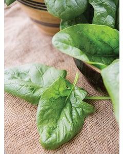 Spinach, Babys Leaf Hybrid