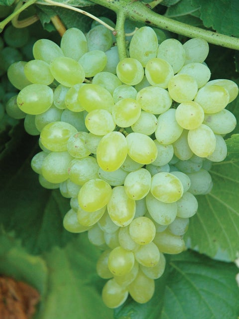 Grape, Hope Seedless