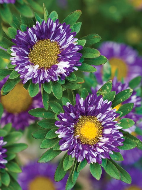 Aster, Purple Burst