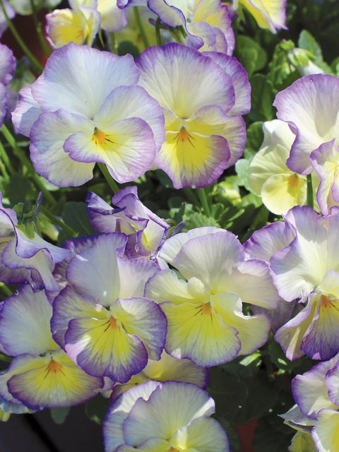 Viola, MagnifiScent® Sweetheart