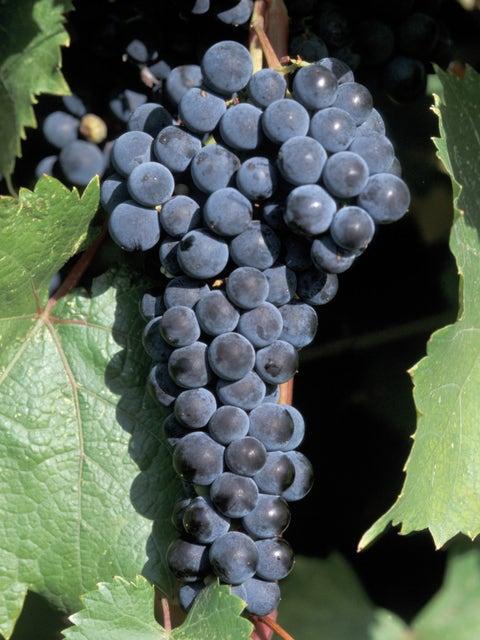 Grape, Marquette