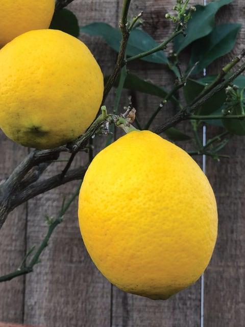 Improved Meyer Lemon Citrus Tree