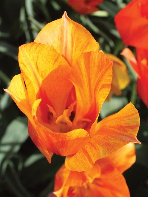 Tulip, El Nino