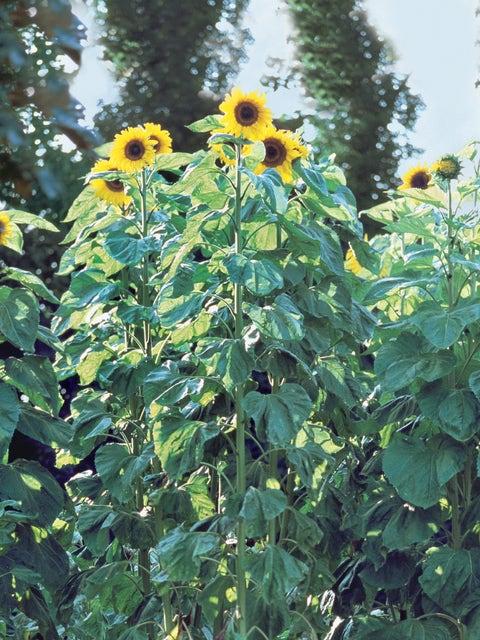 Sunflower, American Giants Hybrid