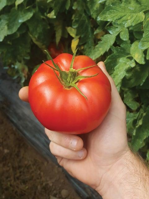 Tomato, Damsel Hybrid