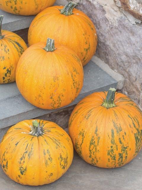 Pumpkin, Pepitas Hybrid