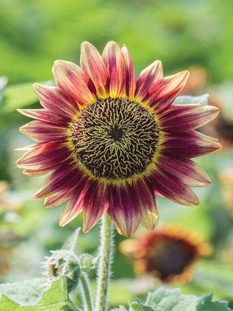 Sunflower, Suntastic Pink Bicolor Hybrid