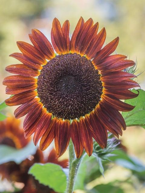 Sunflower, Chianti Hybrid