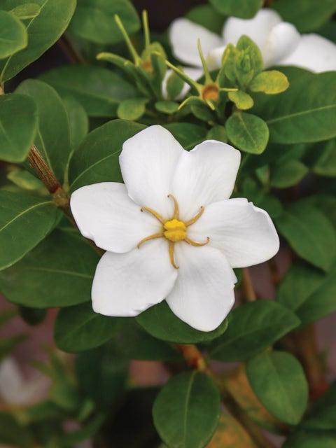 Gardenia, Kleims Hardy