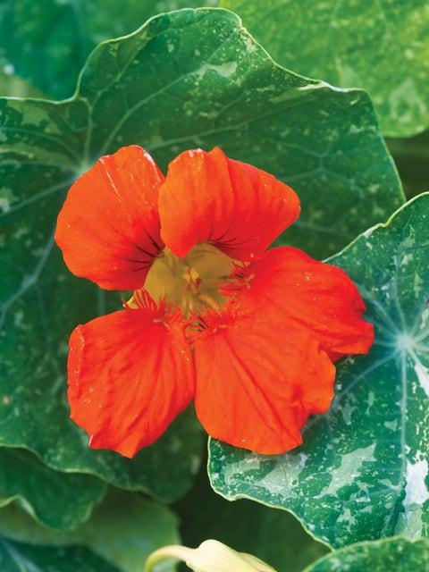 Nasturtium, Troika Orange