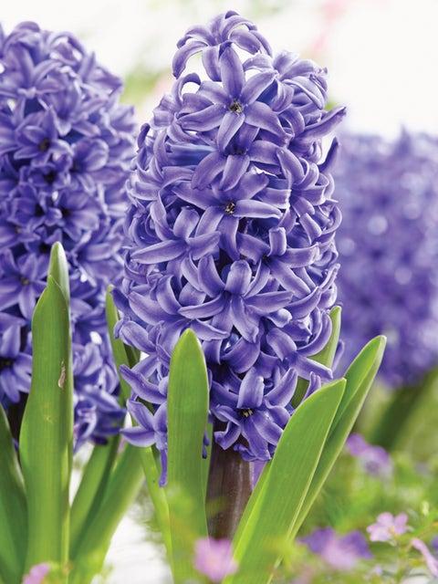 Hyacinth, Blue Pearl