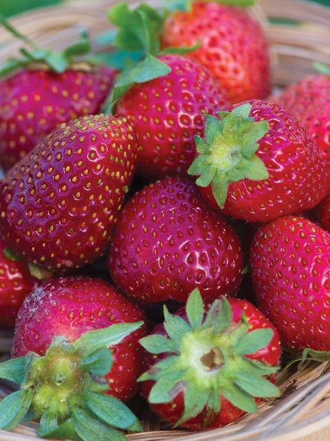 Strawberry, Elan F1