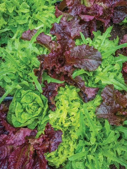 Lettuce, Heatwave Blend