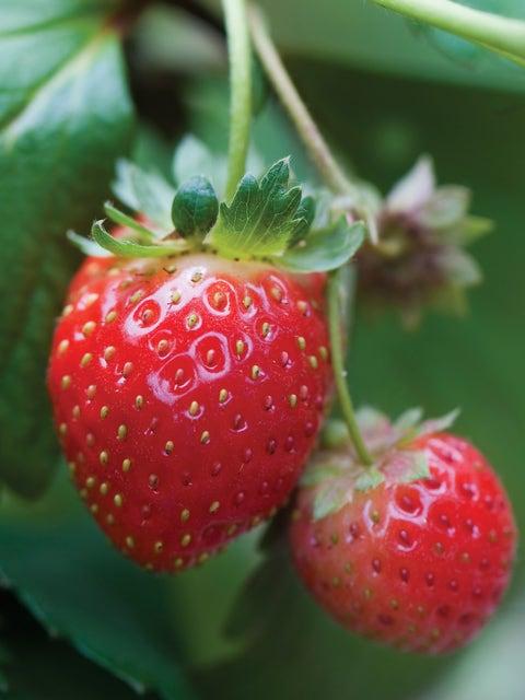 Strawberry, Mara Des Bois