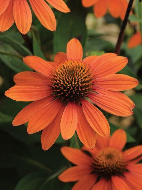 Echinacea, Sombrero Adobe Orange