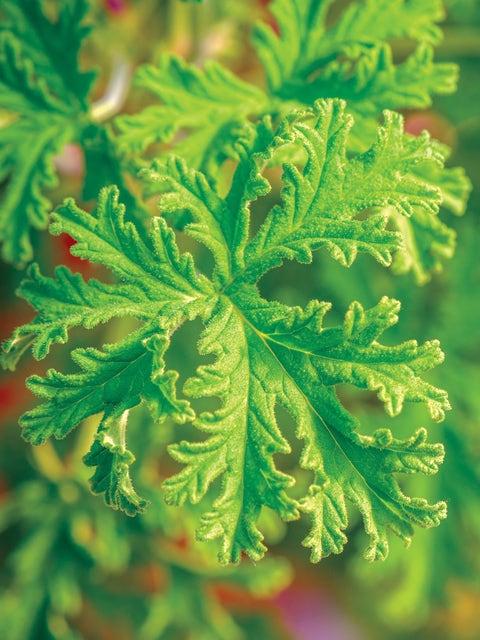 Geranium (Scented), Citronella