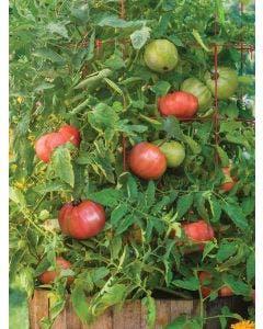 Tomato, Atlas Hybrid