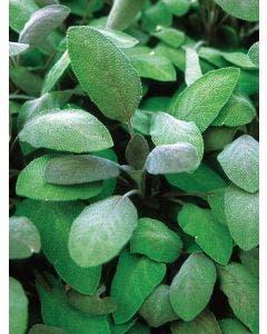 Herb, Sage, Purple