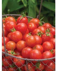 Tomato, Cherry Baby Hybrid