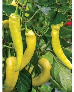 Pepper, Hot, Blazing Banana Hybrid